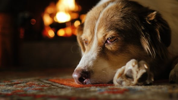 Thumbnail for Portrait of Australian Shepherd, Dozing Near the Fireplace
