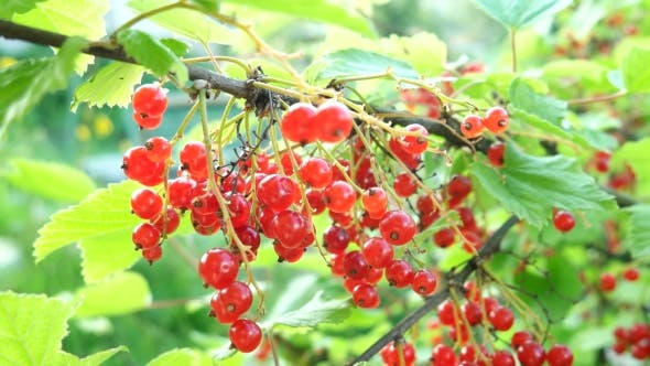 Thumbnail for Bush of Red Currant with Ripe Berries in Sunlight. Natural Garden Background.