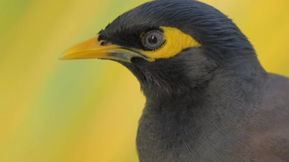 Cover Image for Black and Yellow Mynah Bird