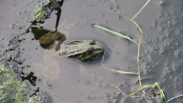 Thumbnail for Frog in the River Near the Lilies
