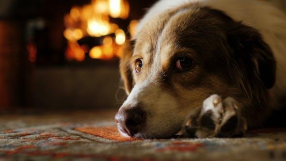 Thumbnail for Australian Shepherd, Dozing Near the Fireplace