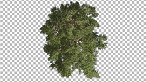 Western Juniper Top Down Coniferous Evergreen