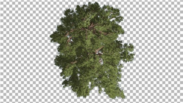 Thumbnail for Western Juniper Top Down Coniferous Evergreen