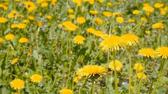 Thumbnail for Slider Shot of Dandelions on Springtime