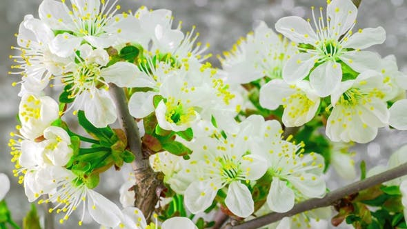 Thumbnail for White Cherry Tree Flowers Blossoms.