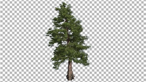 Western Red Cedar Long-Lived Coniferous Evergreen