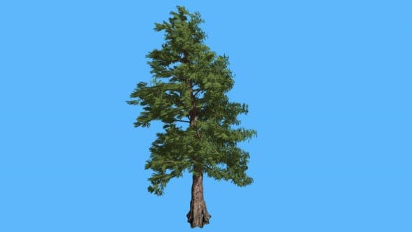 Thumbnail for Western Red Cedar Strong Coniferous Evergreen