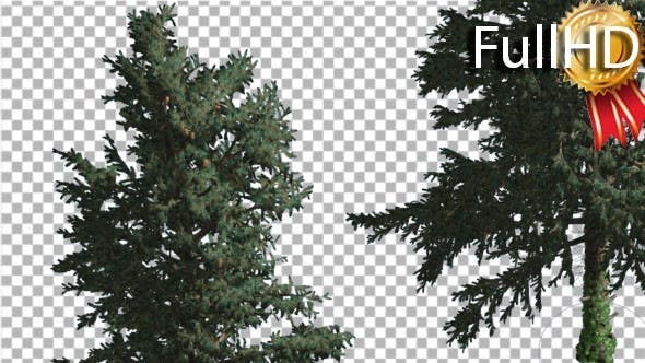 Two White Firs at Strong Wind Coniferous