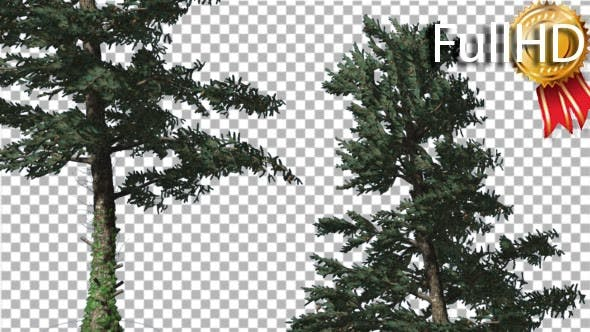 Thumbnail for Two White Firs Crown Trunk Coniferous Evergreen