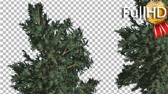 Two White Firs Crowns Coniferous Evergreen Thin