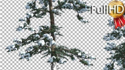 Snow on White Fir Two Thin Trees Coniferous