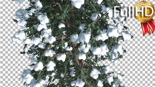 White Fir Top Down Snow on Tree Coniferous