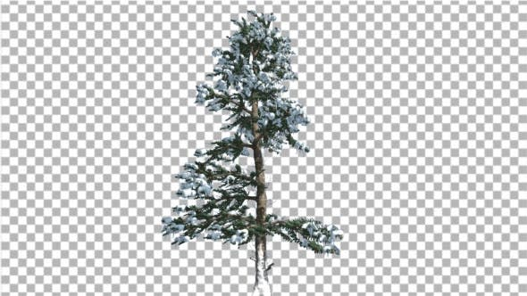 White Fir Thin Trunk and Branches Snow Coniferous