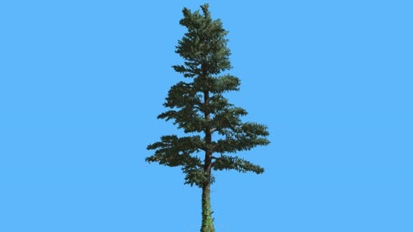 Cover Image for White Fir Thin Trunk and Branches Coniferous