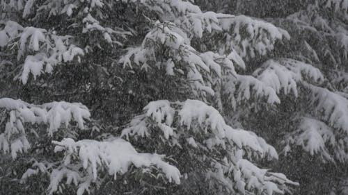 Snowfall in Front of Fir Trees