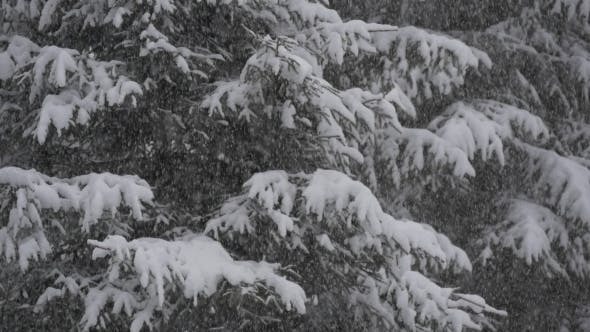 Thumbnail for Snowfall in Front of Fir Trees