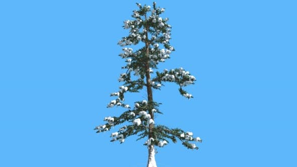 Thumbnail for White Fir in Winter Snow on Branches Coniferous