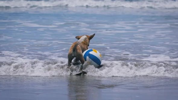 Thumbnail for Dog Brown Color of the Water. On the Beach in Ocean Volleyball