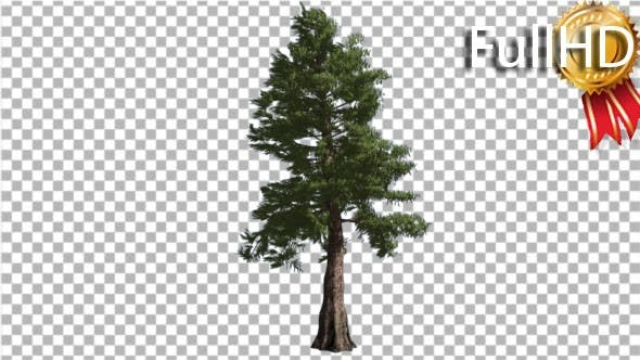 Thumbnail for Western Red Cedar Trunk and Branches Coniferous
