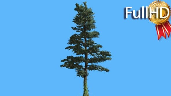 Thumbnail for White Fir Thin Trunk and Branches Coniferous