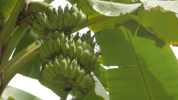 Thumbnail for Banana Tree