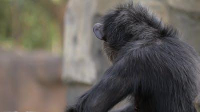 Chimpanzee in the Zoo
