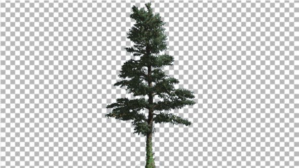 Thumbnail for White Fir Thin Christmas Tree Coniferous