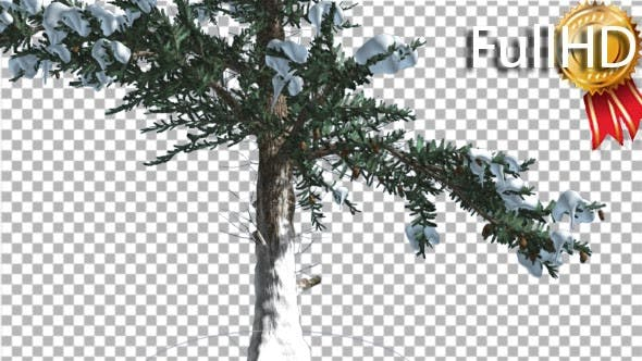 Snow on White Fir Lower Part of Trunk Coniferous