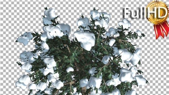 Snow on White Fir Top Down Coniferous Evergreen