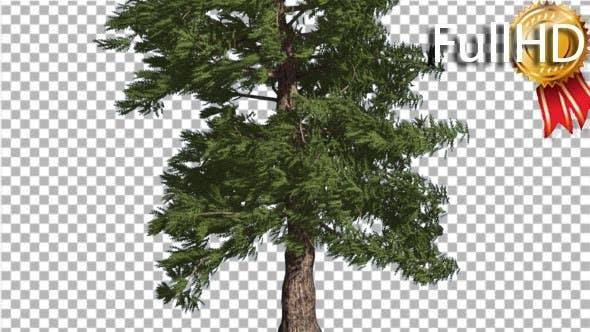 Thumbnail for Western Red Cedar Coniferous Tree Trunk Evergreen
