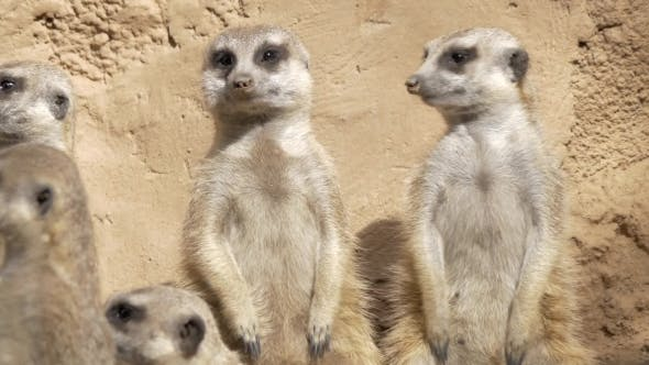 Thumbnail for Group of Suricates Stand Sentry
