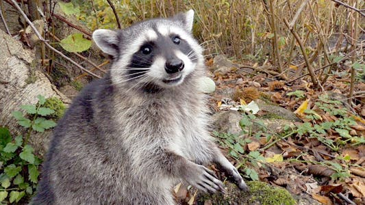 Thumbnail for Raccoon In Wild Forest 04