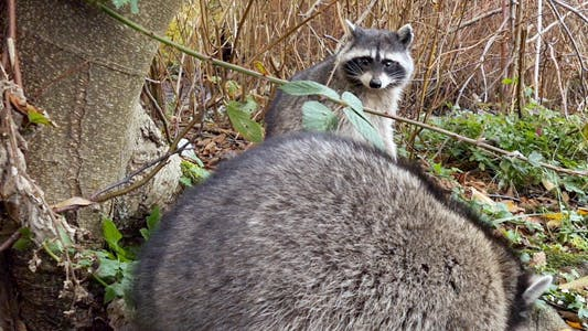 Thumbnail for Raccoon In Wild Forest 07