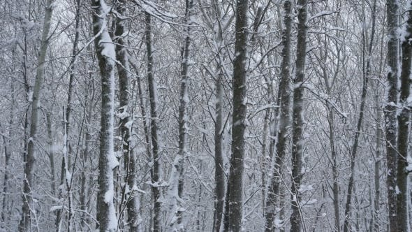 Thumbnail for Footage Big Snowflakes Falling in a Forest