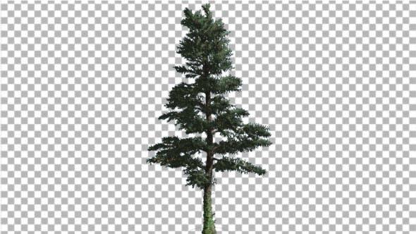 White Fir Thin Christmas Tree Coniferous