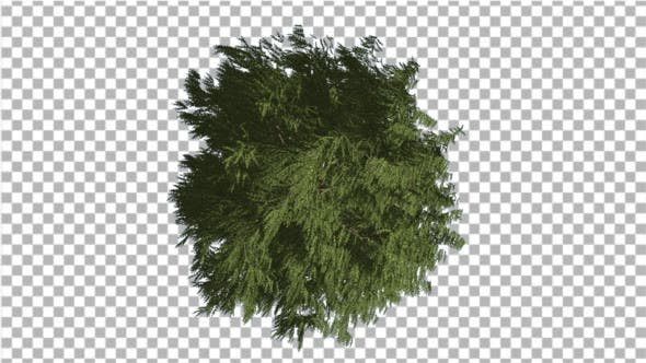 Thumbnail for Western Red Cedar Crown Top Down Long-Lived Tree