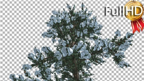 Snow on White Fir Top of Tree Coniferous