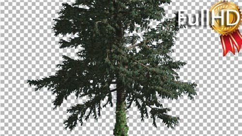 White Fir Coniferous Evergreen Tree is Swaying at