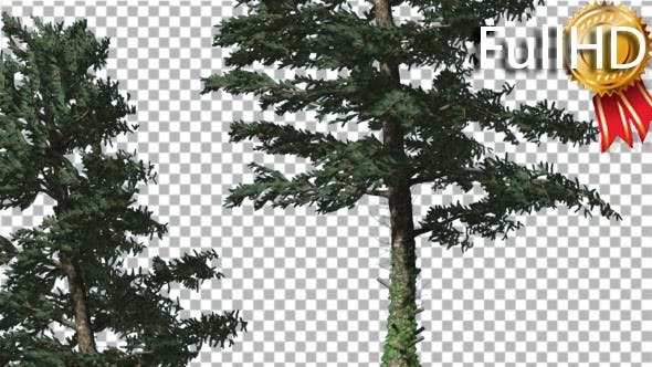 Two White Firs Coniferous Evergreen Trees Are