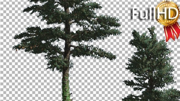 Two White Firs Top and Trunk Coniferous Evergreen