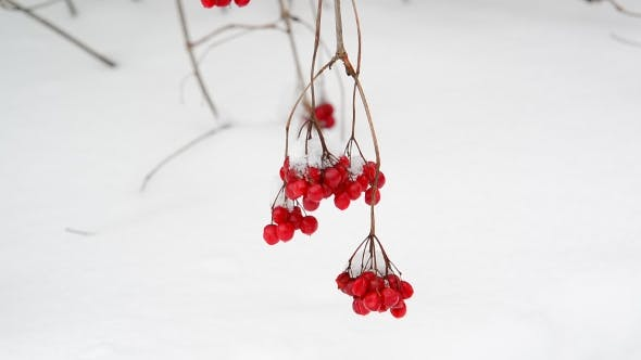 Thumbnail for Viburnum Berries on Branch on the Snow Background
