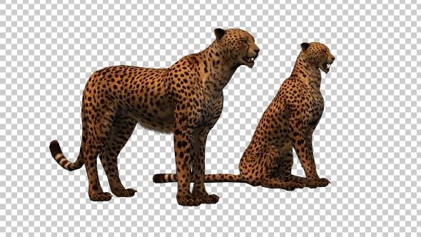 Thumbnail for Cheetah Family