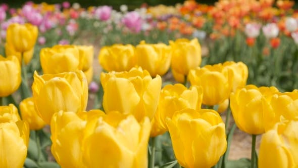 Thumbnail for Multi Yellow Coloured Tulips on Nature Background, Serenity