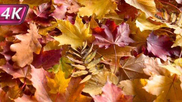 Thumbnail for Autumn Colorful Leaves On The Ground
