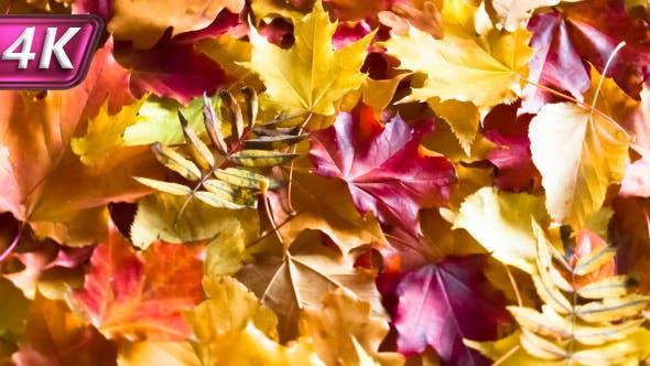 Thumbnail for Fallen Autumn Leaves