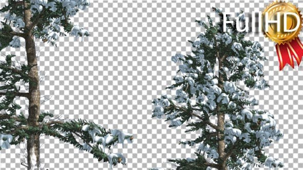Thumbnail for Snow on Two White Firs Coniferous Evergreen Trees