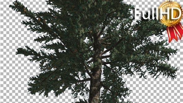 Thumbnail for White Fir Trunk and Branches Coniferous Evergreen