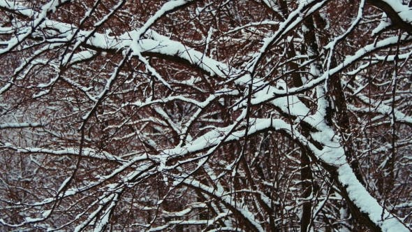 Thumbnail for Winter Forest with Snowy Tree