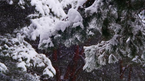 Christmas Fir Trees In Snow Winter