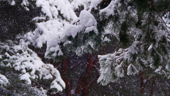 Thumbnail for Christmas Fir Trees In Snow Winter
